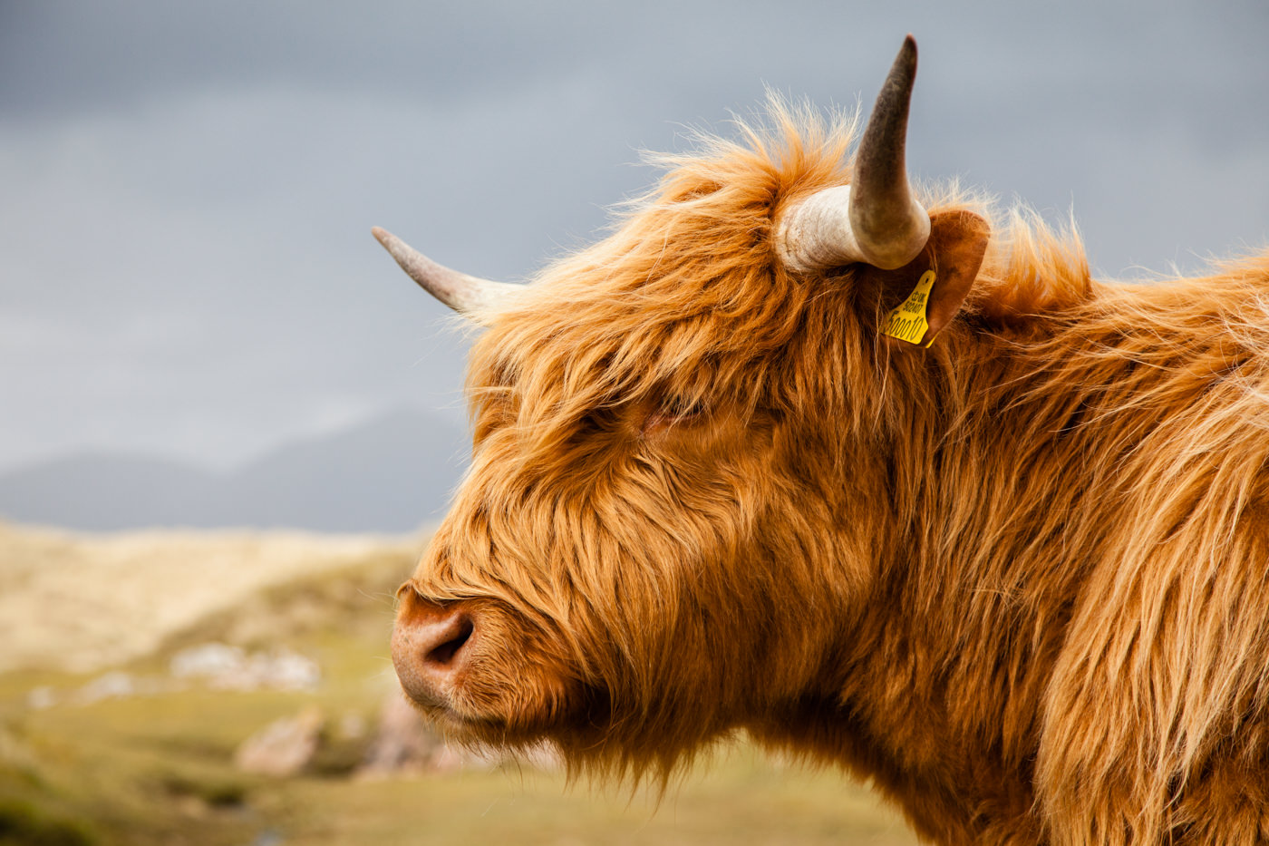 Vache ecossaise Harris