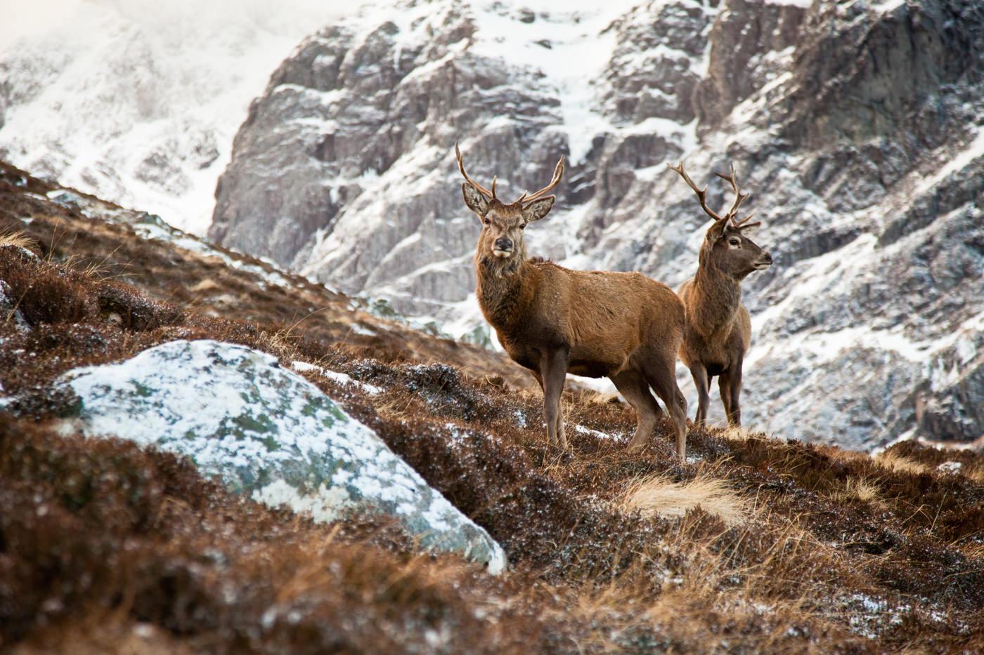 Cerfs Red deer Stags in glencoe Ecosse